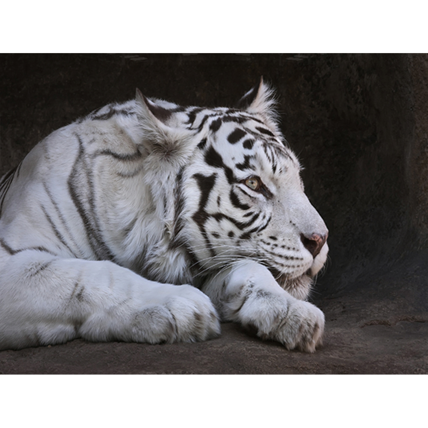 Image of Complete Colour Block Mounted Print, Tiger