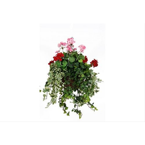 Medium Geranium Hanging Basket Pink/Red